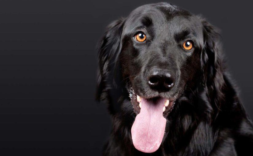 Pelo brillante perro negro pexe