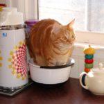 gato limites meson