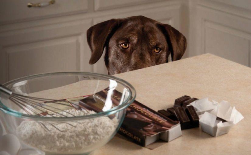 chocolate toxico perros