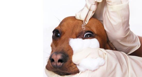 tratamiento conjuntivitis perro