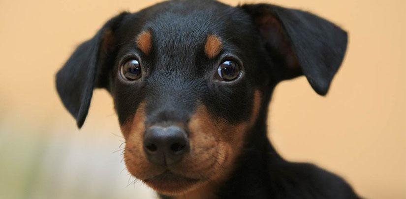 perro doberman orejas largas