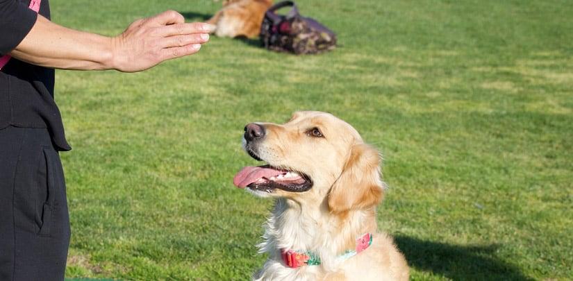 entrenando perro sentado