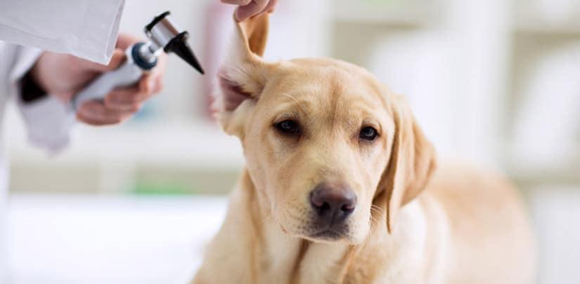 perro c posible infección oido