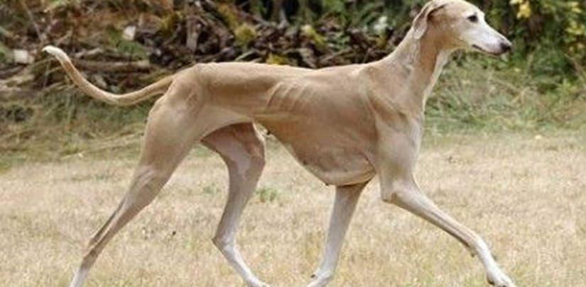 perro con perdida de peso