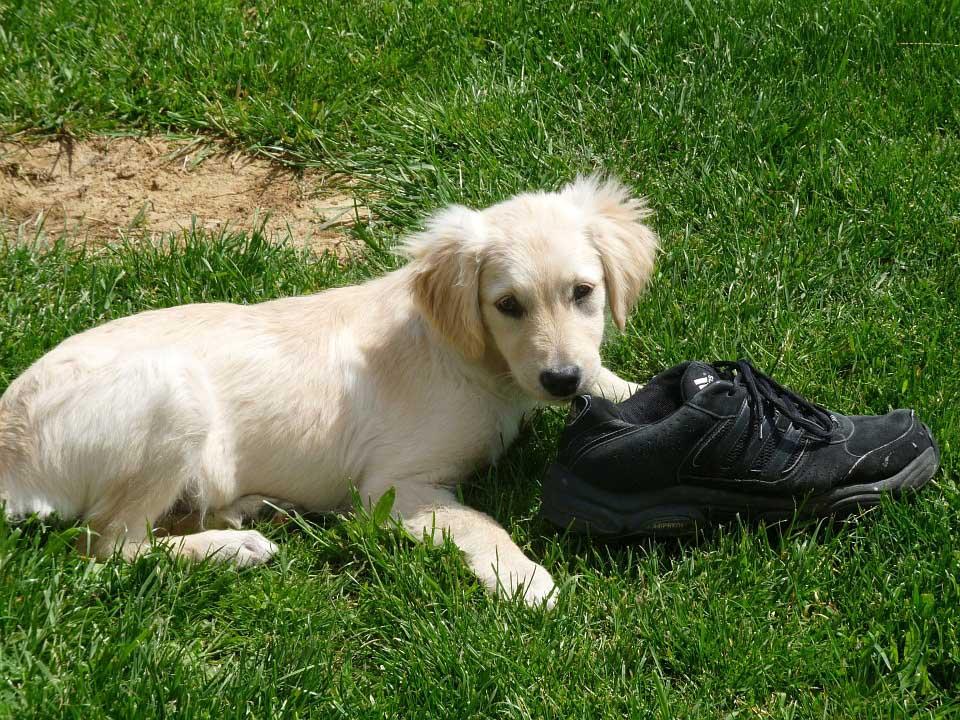 Cachorro comiendo zapato