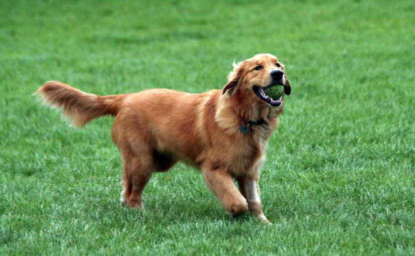 Golden_Retriever_pelo_sano