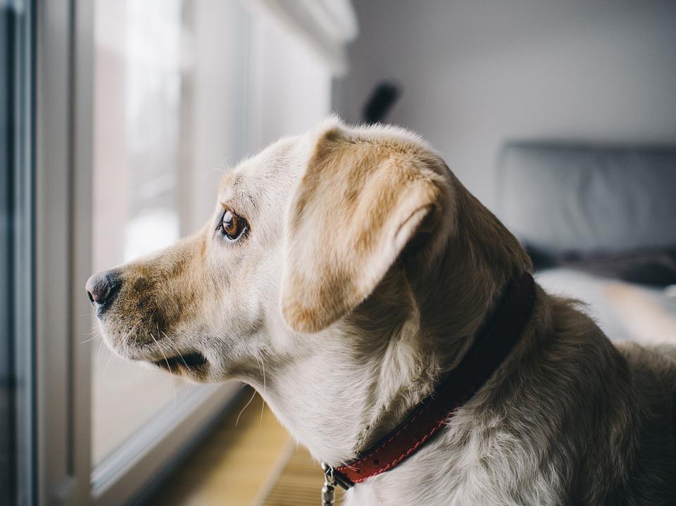 Perro mirando no ladra