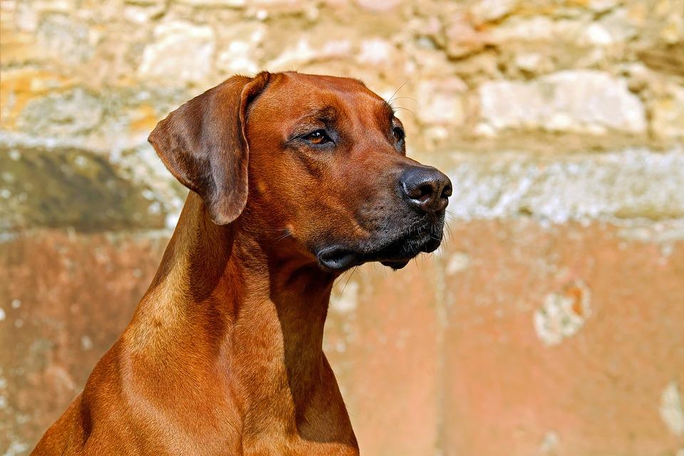 Rhodesian r guardian