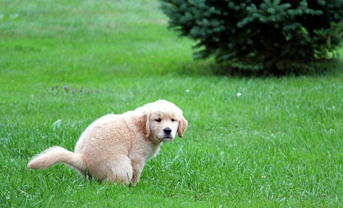 Enseñarle al cachorro a hacer sus necesidades donde debe