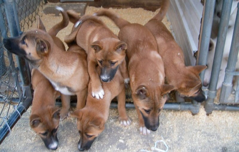 camada cachorros