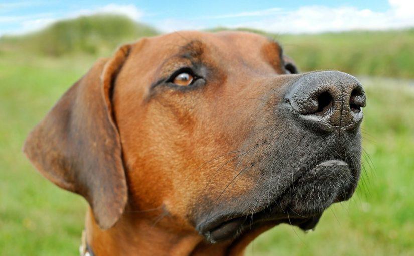 Resultado de imagen para olfato de perro