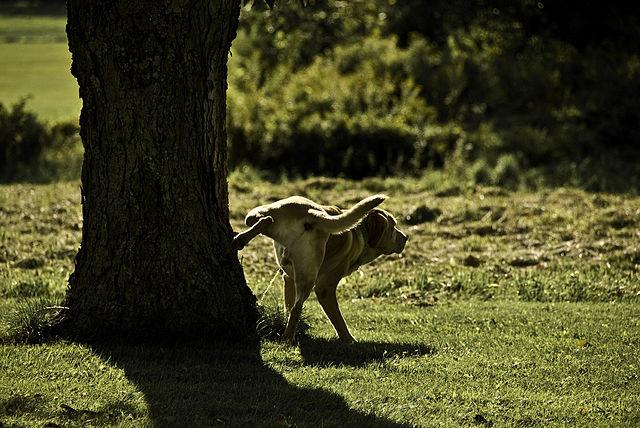 perro macho orina territorio